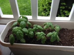 Home grown Basil for Pesto